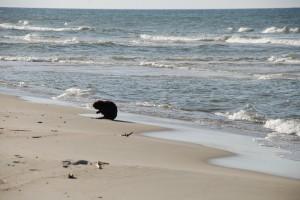 Nad polskim morzem, prędzej spotkasz bobra niż Czecha?