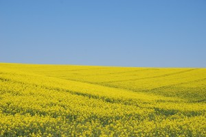 Niebiesko-żółte... Śląskie. Rzepakowe (pole)