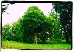 Zielone drzewo / Green tree