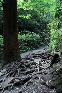 Natura (korzenie) / Nature (roots), Nikko area, Japan