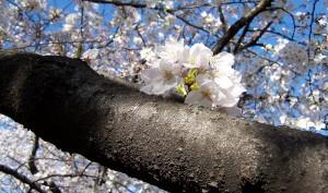 Sakura, saakurra! (cykl: Hanami, 2007)