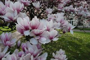 Opawskie magnolie