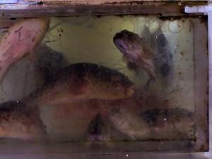 Legenda - ryba fugo