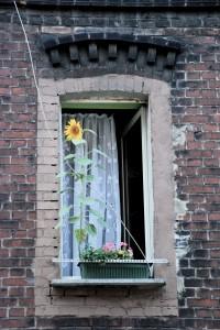 Słonecznik (Ogrody Cwajki)