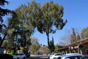 Eukaliptusy wJokneam, (Izrael marzec 2017)